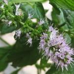 Grönmynta (Mentha Spicata), blommor